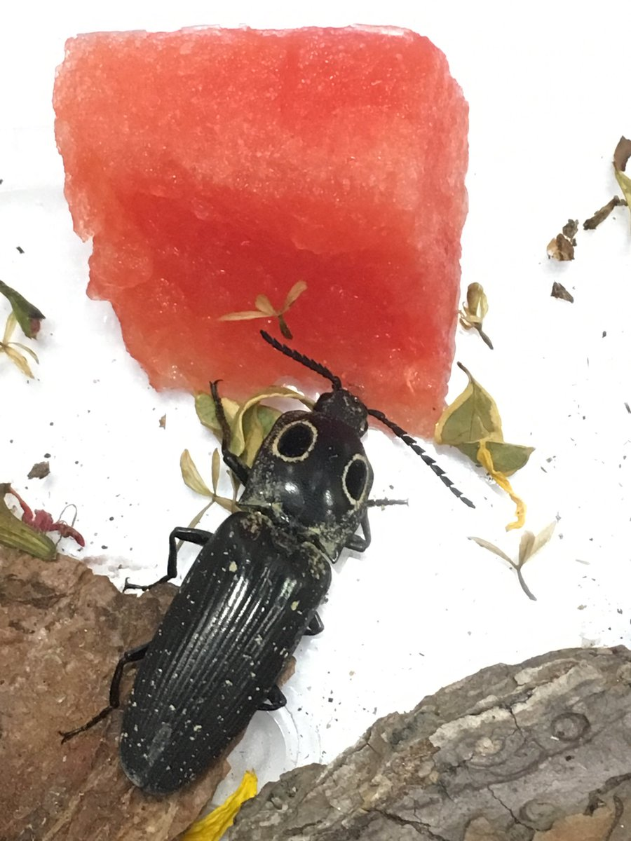 Spot thinks nothing says #summertime like sharing watermelon with friends #UFBugs @FLSEAGRANT_BAY