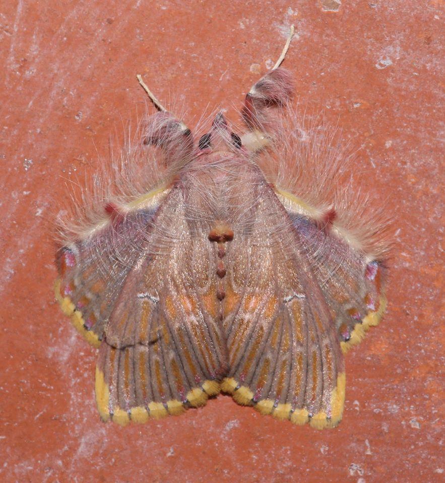 Sosxetra grata moth from Mexico.  (Photo: Laura Gaudette) <br>http://pic.twitter.com/VJdsAtzHzm