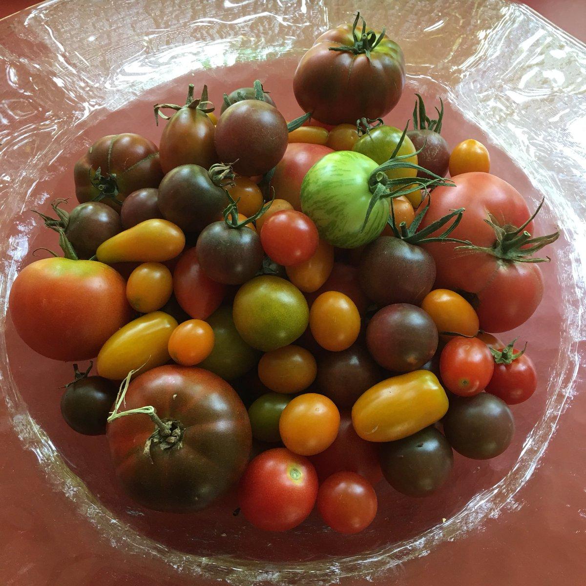 Nach Gurken und Zucchetti kommen die Tomaten. #Gartenglück #Erntestress