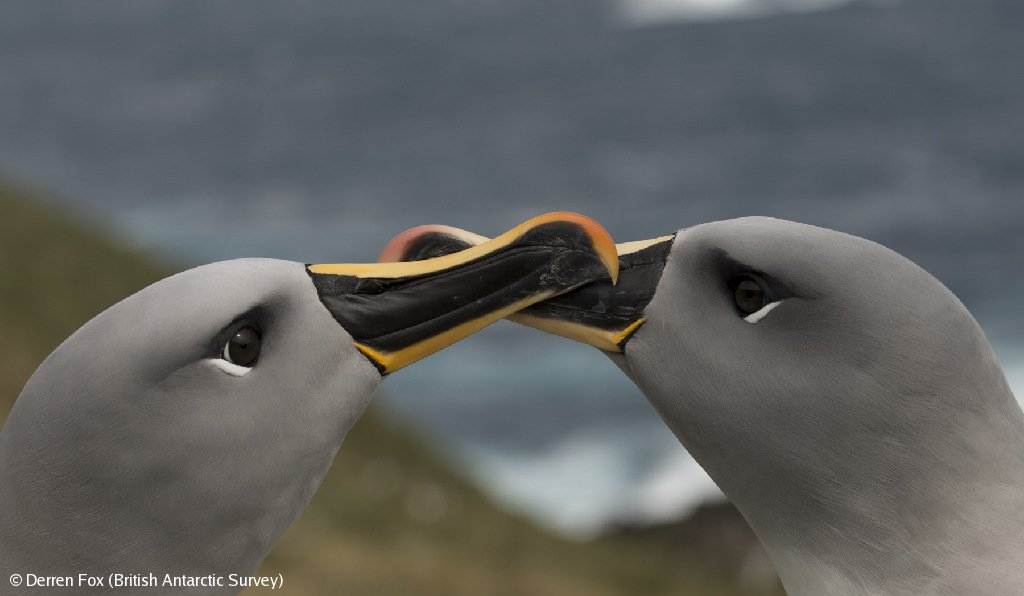 This season satellite-tags were attached to several grey-headed albatrosses on Bird Island. You can track their journey into the open ocean for the first time here: bas.ac.uk/project/grey-h… @RSPB @BirdLifeInternational @Derren_Fox