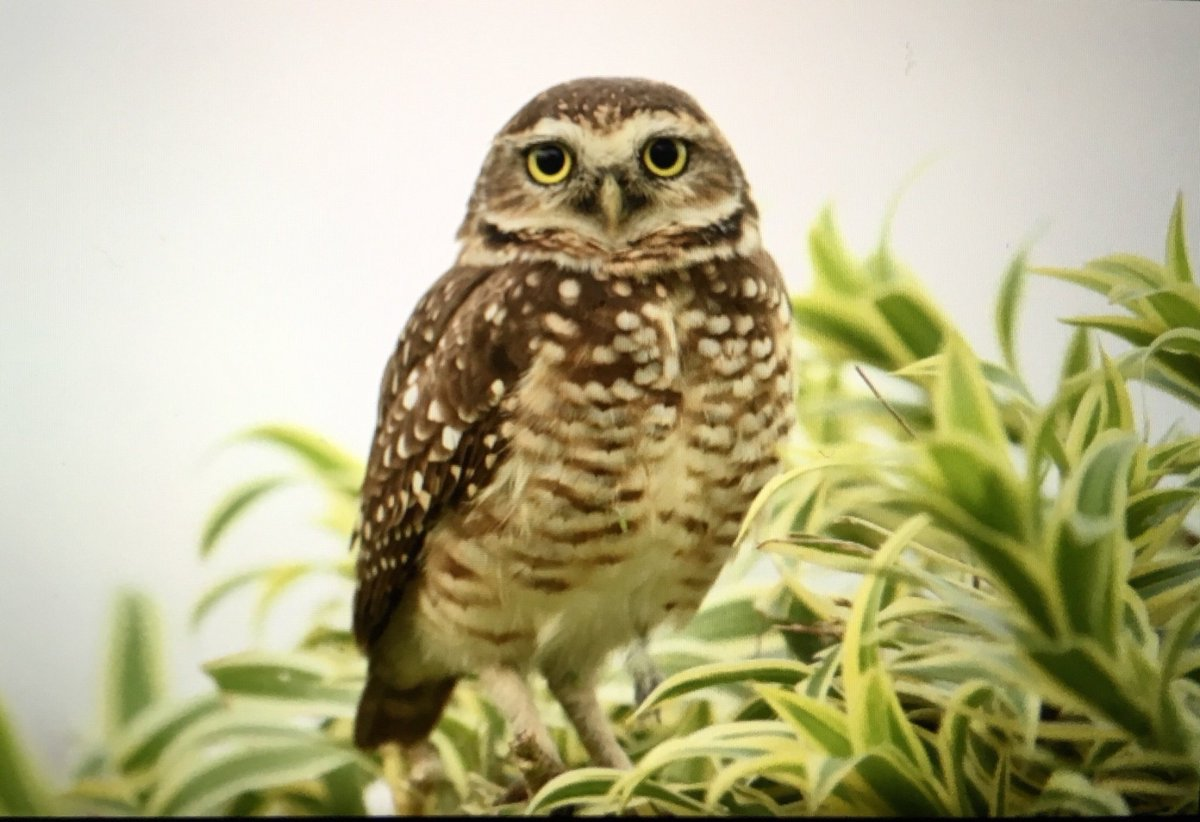 Seen over 30 new bird species over the past few days in Guarujá, including this inquisitive burrowing owl! Lots of wasps, ants and butterflies too  Excited to see some more wildlife over the next two weeks exploring the Pantanal and Amazon!  #iussi2018<br>http://pic.twitter.com/sTAea6cvHo