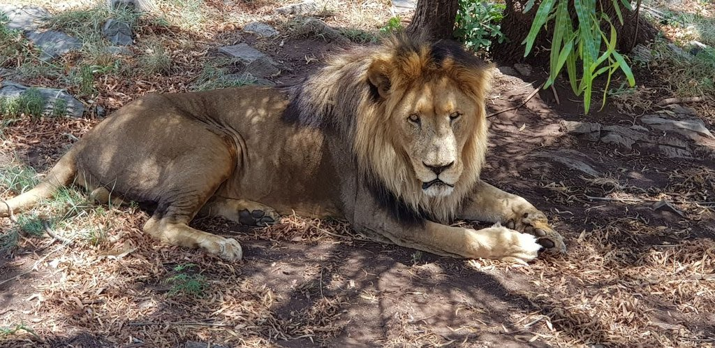 A lion is called a King of beasts obviously for a reason. #WorldLionDay