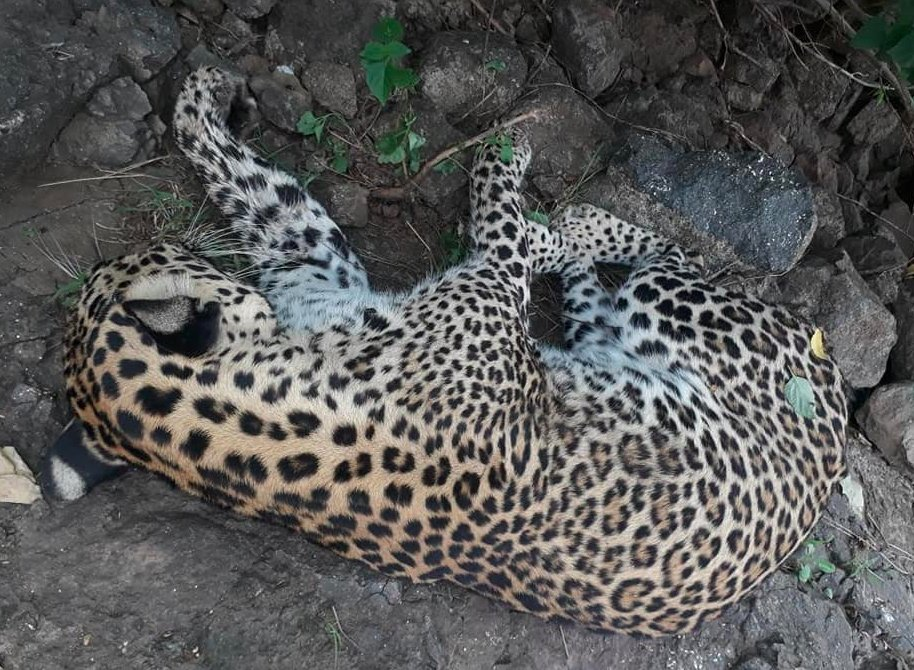 3 dead leopard found near East Gir forests in Gujarat were killed by labourer to avenge the death of pet dog