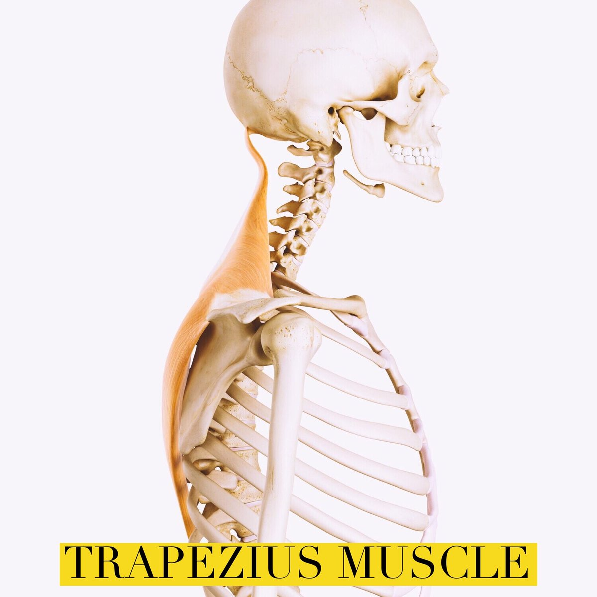 Trapeziusmuscle Hashtag On Twitter