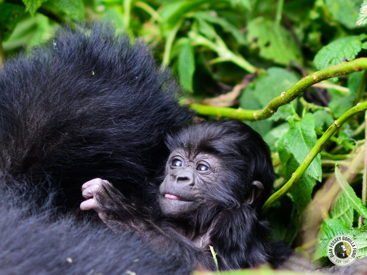 Today is the last day to symbolically adopt an infant gorilla for just $20! This limited-time adoption is our small way of saying THANKS for all that you do to keep gorillas and other endangered wildlife safe. gorillafund.org/adopt