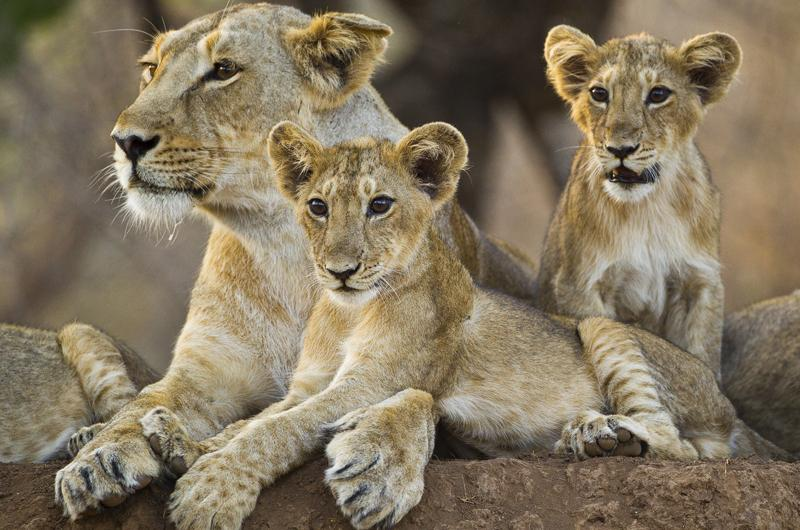 #WorldLionDay India&#39;s Gir Forest, in Gujarat, is the last refuge of the 400 Asiatic lions left in the wild.  View our online photo gallery by Uri Golman:  http:// ow.ly/KvwJ30ljZ4P  &nbsp;  <br>http://pic.twitter.com/APCzHlVbVN