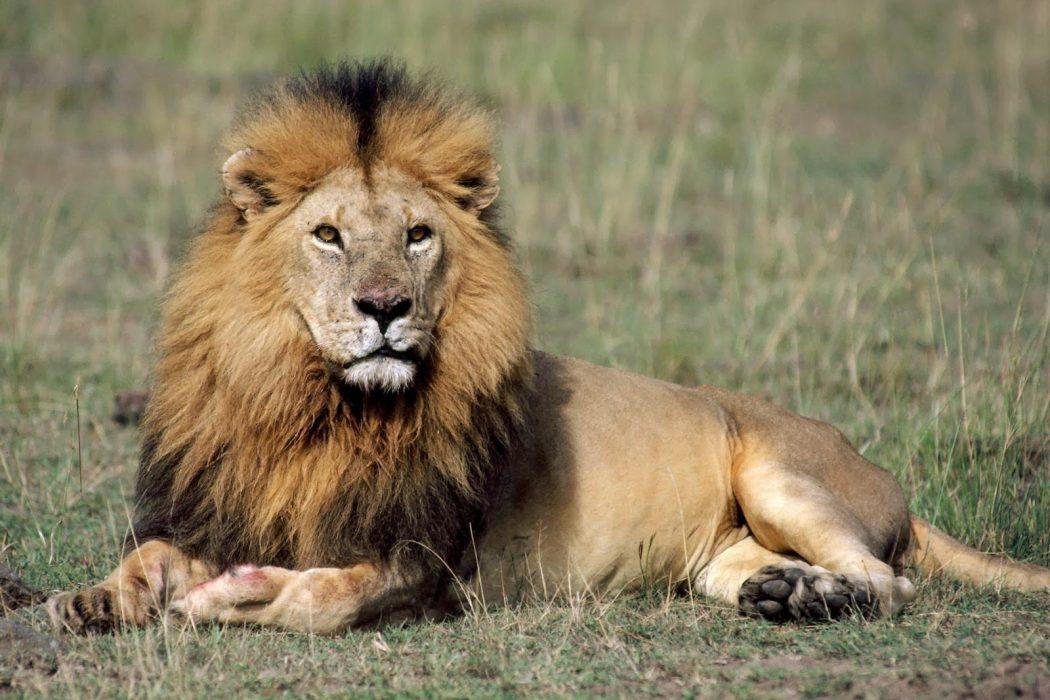 Oggi è la giornata mondiale del Leone. Il Re della foresta non si tocca !!! Diciamo No al #Bracconaggio #WorldLionDay  - Ukustom