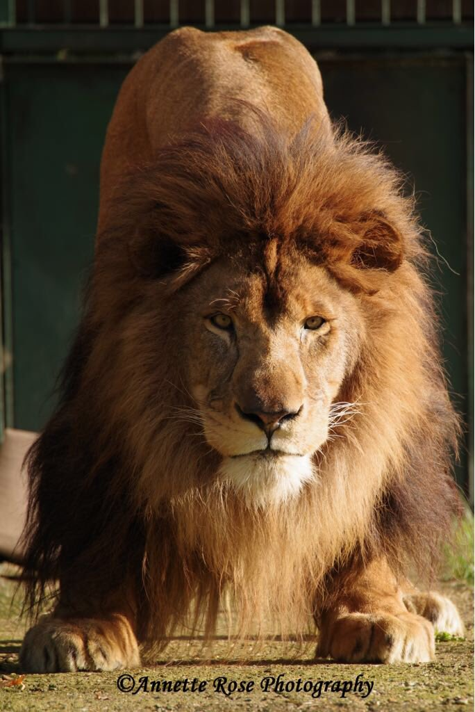 I can't begin to comprehend Africa without its most awesome &amp; iconic predator, the lion. Yet this is the very situation that our future generations may face. Like most apex predators the lion is integral in the health of the ecosystems of which it naturally occurs. #WorldLionDay <br>http://pic.twitter.com/ivJtGZYCTd