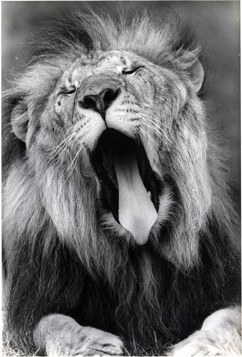 The best way to celebrate #WorldLionDay and #NationalLazyDay is with Prince, the yawning lion! Another fabulous picture from the Zoo Miami Digital Collection:  https:// bit.ly/2vW8ez5  &nbsp;    @zoomiami @fiu_govdocs <br>http://pic.twitter.com/z6k5BMv3iR