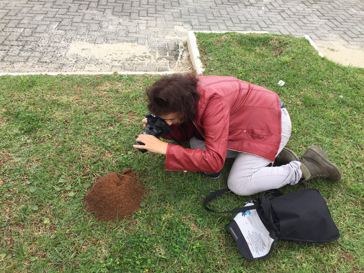 I found this specimen displaying such an interesting behavior. Why is it next to a fire ant mound is still a matter under investigation!.. at #guaruja <br>http://pic.twitter.com/zBHxgSokso
