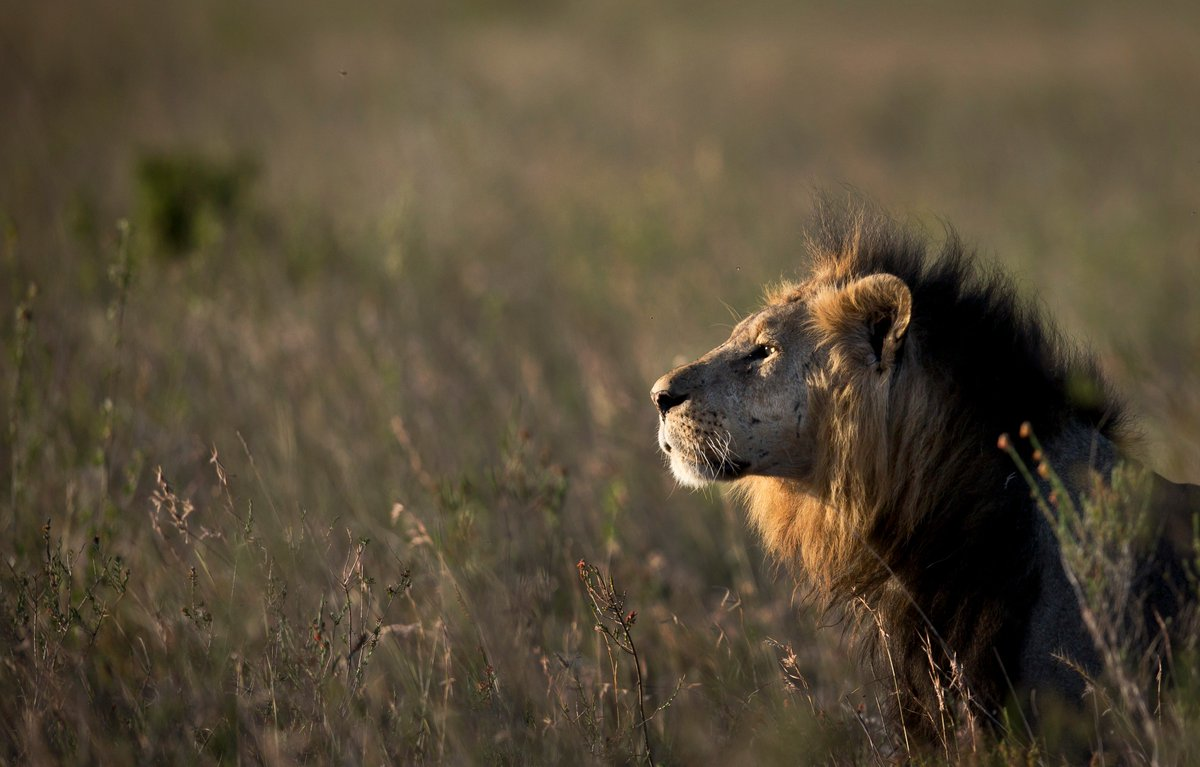 It's #WorldLionDay.   There are only 20,000 African lions left in the world today.   Their population has dropped 40% in recent years because of hunting and habitat loss.    They no longer exist in 12 sub-Saharan countries. <br>http://pic.twitter.com/r2GGm83NKm