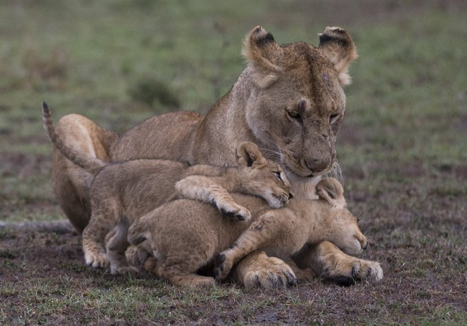 The Trump administration recently issued almost 40 permits allowing hunters to bring back trophies of African lions they kill. Many of those hunters are GOP or Trump donors. There are only 20,000 African lions left. #WorldLionDay Photo