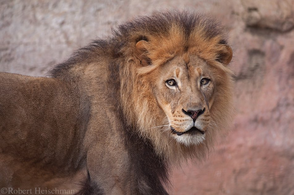 Oo I almost missed #WorldLionDay! Lions! The best big cat! Yeah, I said it. Fight me. :O  Sacramento Zoo. <br>http://pic.twitter.com/IRe8HQ2EvP