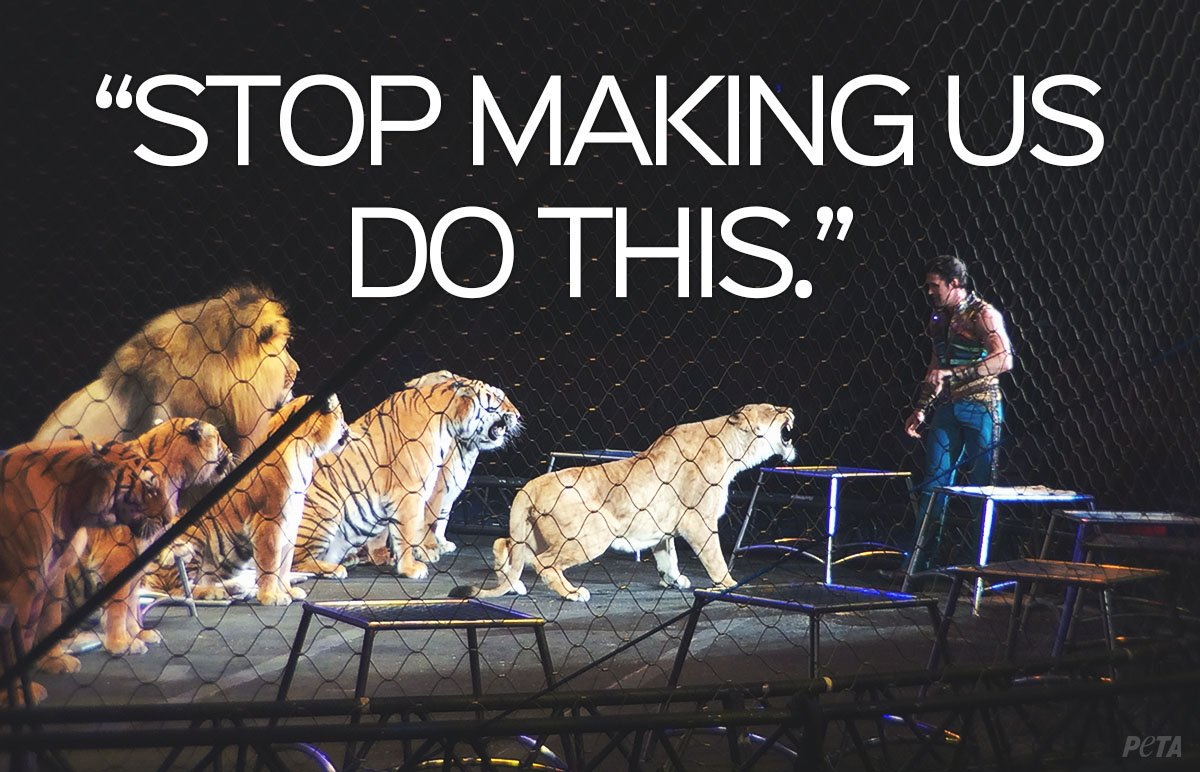 SO wrong  Lions &amp; other big cats are caged in, whipped, &amp; forced to perform just to entertain humans. NEVER go to a circus with animal acts! #BoycottAnimalCircuses #WorldLionDay <br>http://pic.twitter.com/E8Jfuf95kI