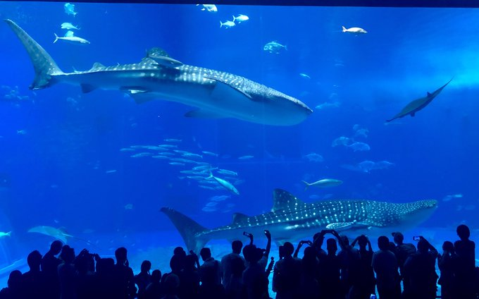 Holy crap the Okinawa aquarium is awe inspiring. Manta rays and whale sharks in the same huge tank, along with tons of other animals (literally). Amazing. Photo