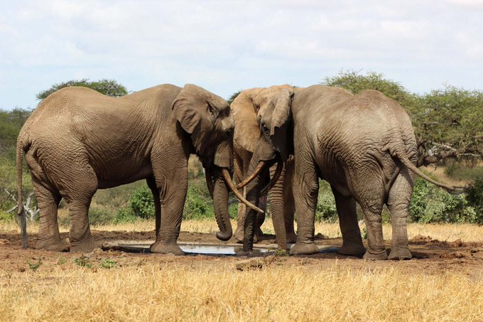 India not only used Elephants as War machines but also as Temple builders. They are civil engineers of forests, farmers who help in regeneration and help in checking soil erosion. #WorldElephantDay Photo