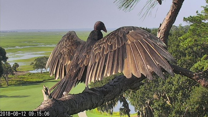 09:15, 8/12 Turkey Vultures, especially in the morning, can be seen standing erect, wings spread in the sun, presumably to warm up, cool off, or dry off. Photo