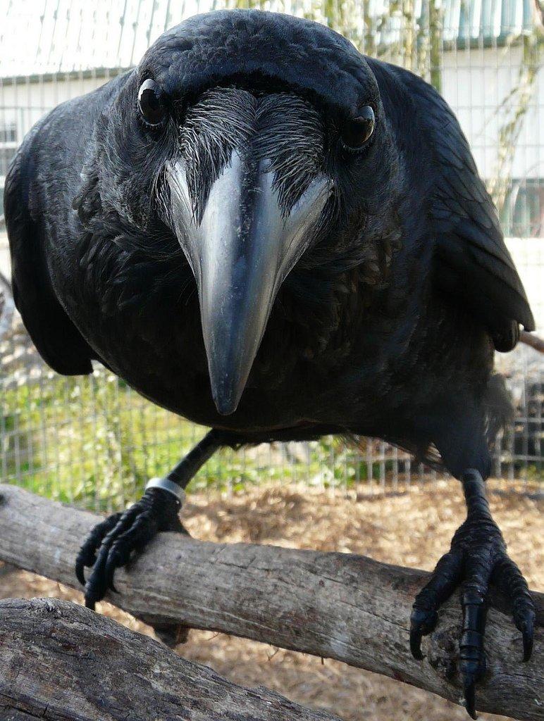 Прикольных, черный ворон прикольные картинки