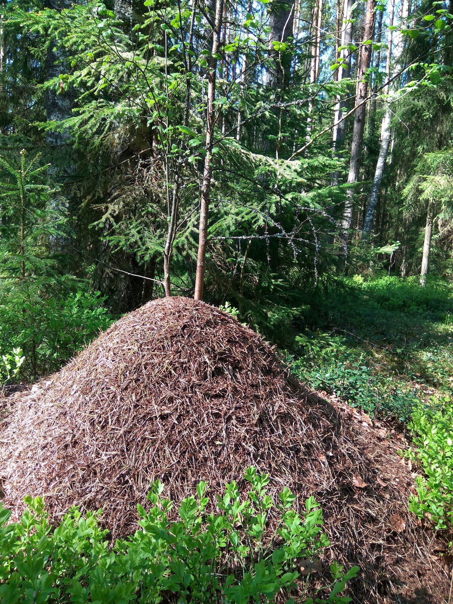 школе муравейник в лесу картинки начала следует