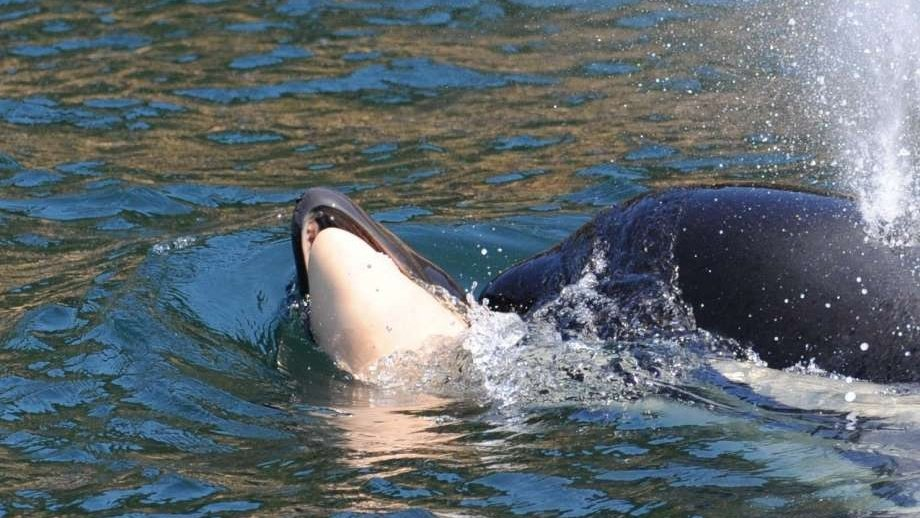 17 days and 1,000 miles later, grieving orca lets go of her dead calf https://t.co/9naFvS95N5