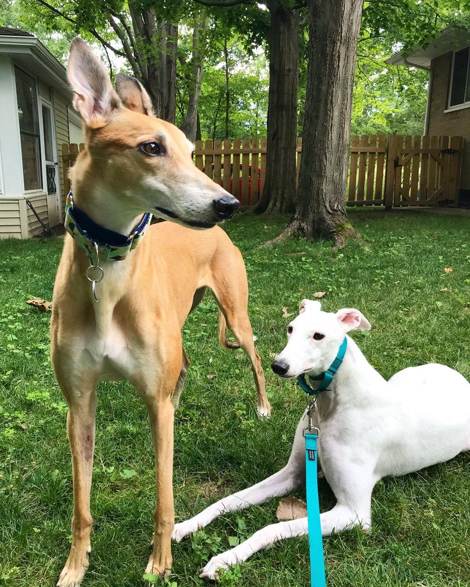 Chai and Kona have been getting along so well last few weeks. 💕 Love our greyhound babies.