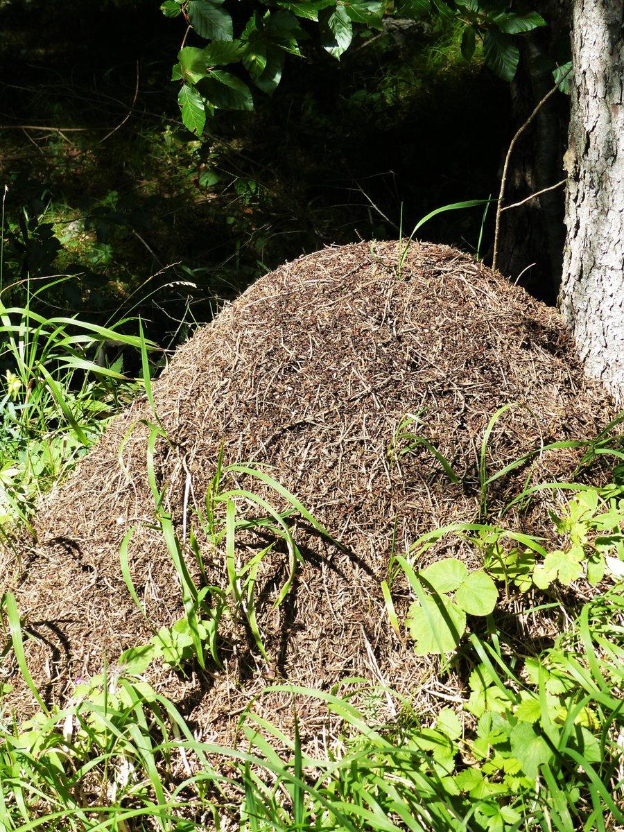Ameisenhaufen im garten