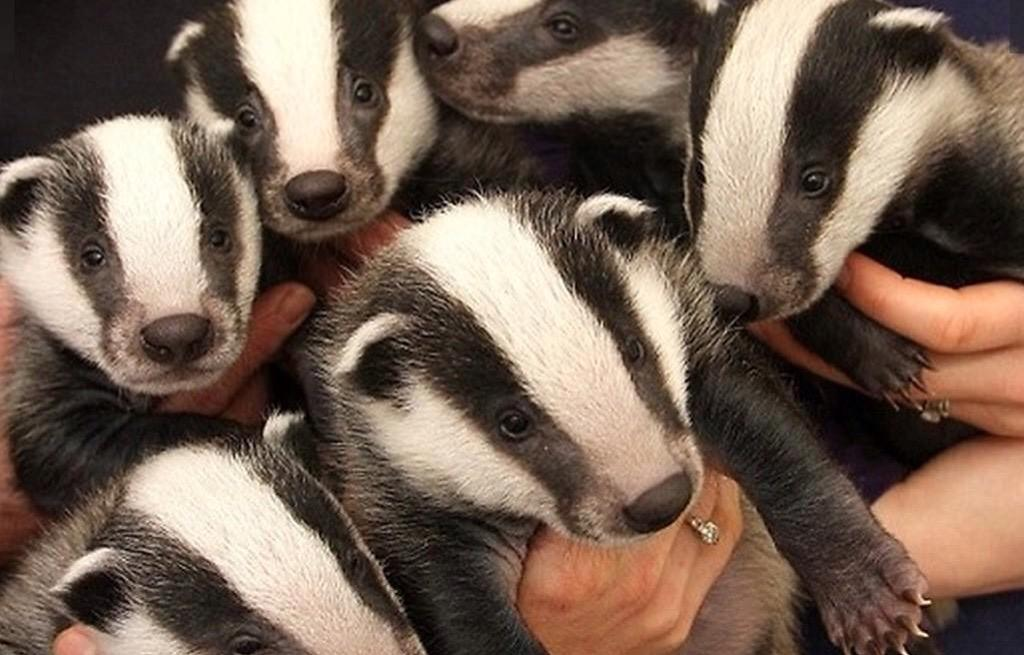 48 farms are supporting badgers in Derbyshire. Why on earth don&#39;t more follow suit elsewhere in the country? Peer pressure? Lack of knowledge? Prejudice? Or misinformation from some vets &amp; the NFU? Weak Government? The list goes on ... #badgermonday<br>http://pic.twitter.com/Ys4eYJ671I