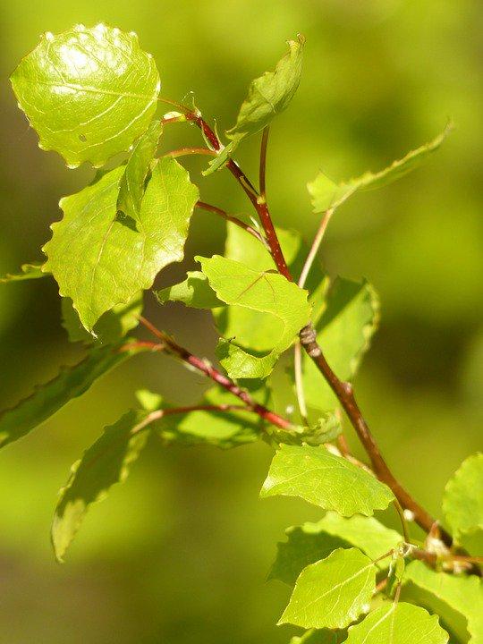 La pioppicoltura, ovvero la piantumazione e la coltivazione di pioppi, per la produzione di #cassette in #legno, costituisce un valore aggiunto in termini ambientali, in quanto fonte di rimboschimento e conseguente rispetto per la #natura  - Ukustom