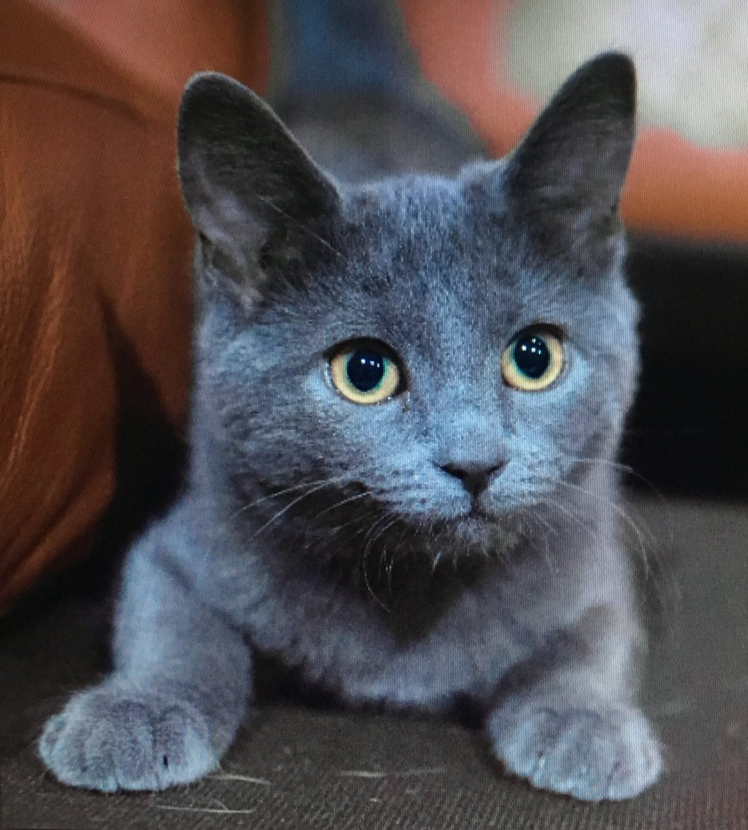 russian blue cat - HD2171×2366