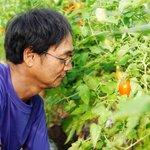 暑すぎてトマトが採れ過ぎる?岐阜県のトマト農家の嘆きが話題!