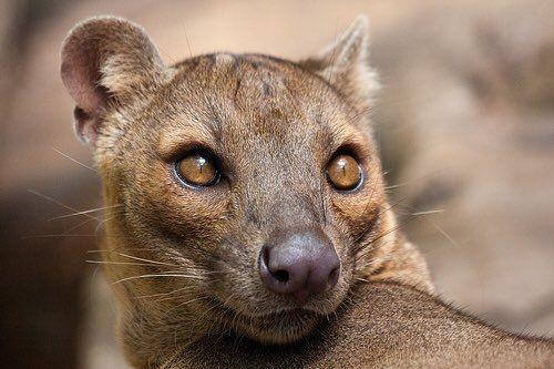 Madagascar fata cauta om)