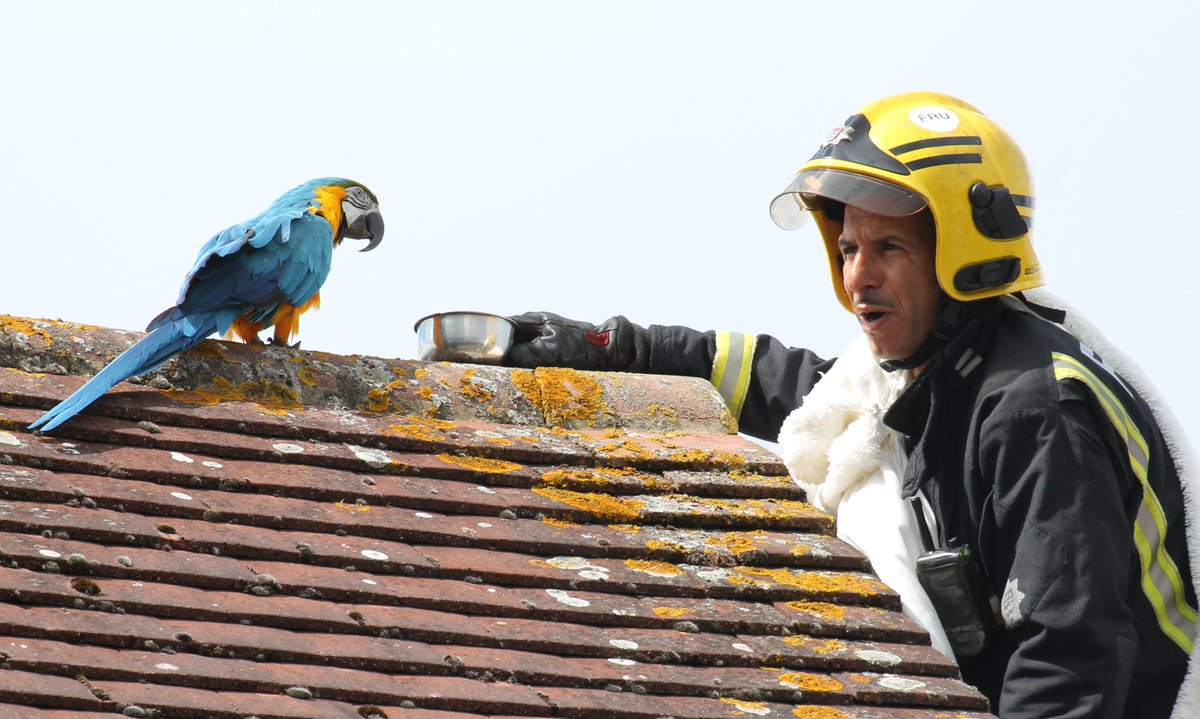 Parrot owner: To bond with her say 'I love you' Firefighter: 'I love you' Jessie the Parrot: 'I love you' Jessie then turned the air blue & flipped the firefighter the bird. Read the story of the potty-mouthed parrot in Cuckoo Hall Lane    ©https://t.co/Th2nlVkOJ8 @PaulWood1961