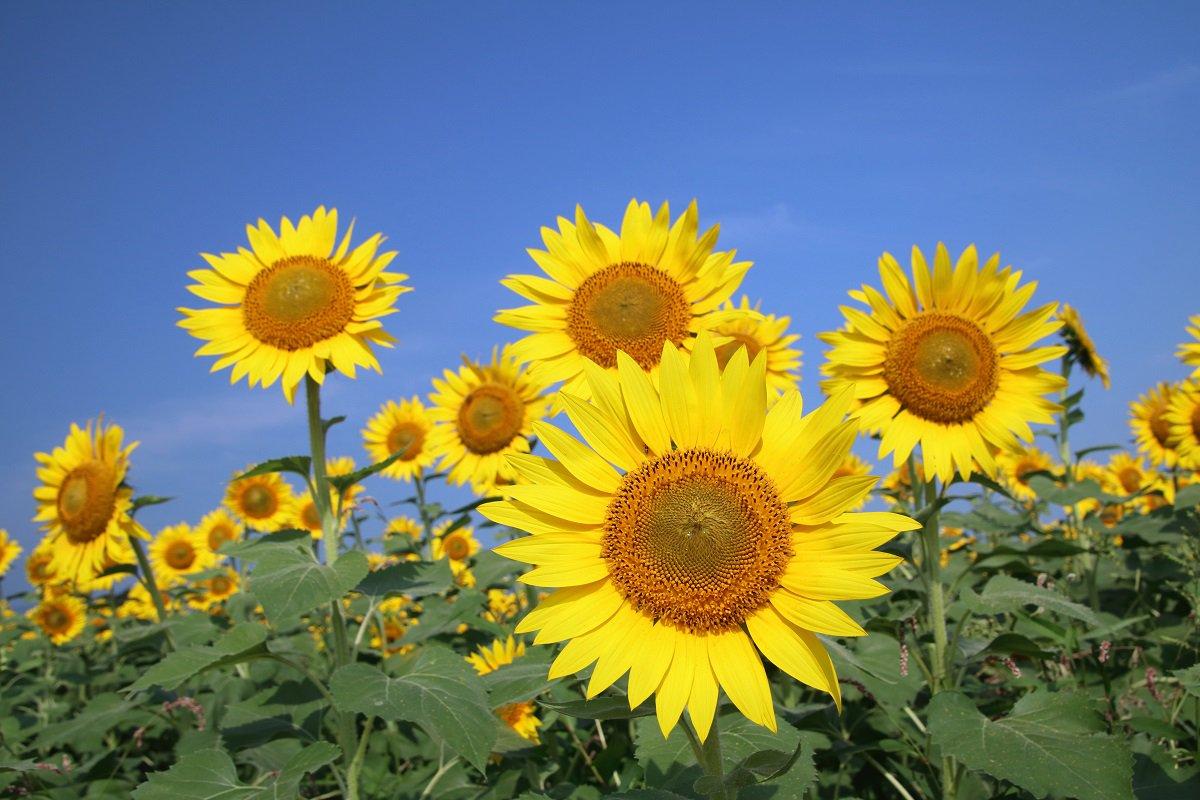 ひまわり 花 言葉 ひまわり – 花と言葉