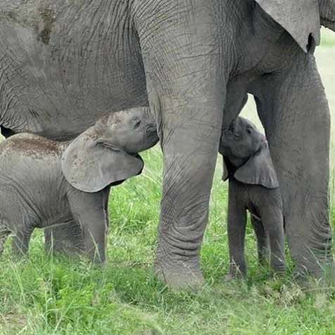 @MiraSorvino Thank you for sharing the elephant love. Here are the 2 rare ele twins now 4 months in Amboeli National Park in Kenya!! Every day is #WorldElephantDay Photo