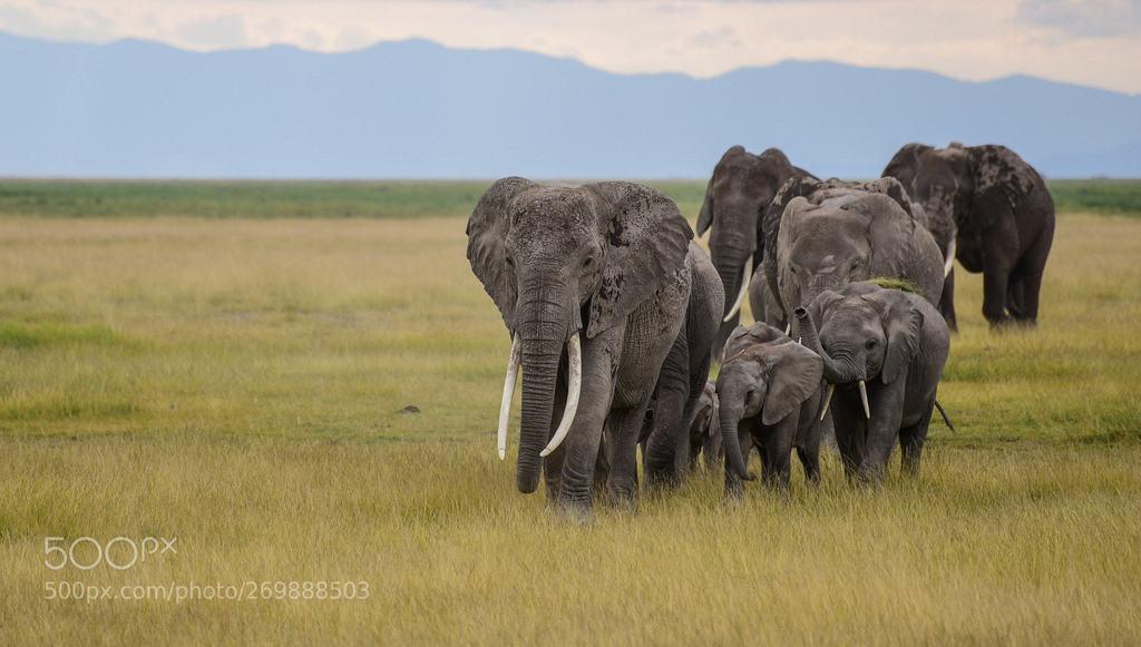 #Happy Elephants day... Elephants family on move..! - Wild life of Amboseli  Elephants day 12 Aug . - RT y Sígueme <br>http://pic.twitter.com/Fdv8D0eeu6