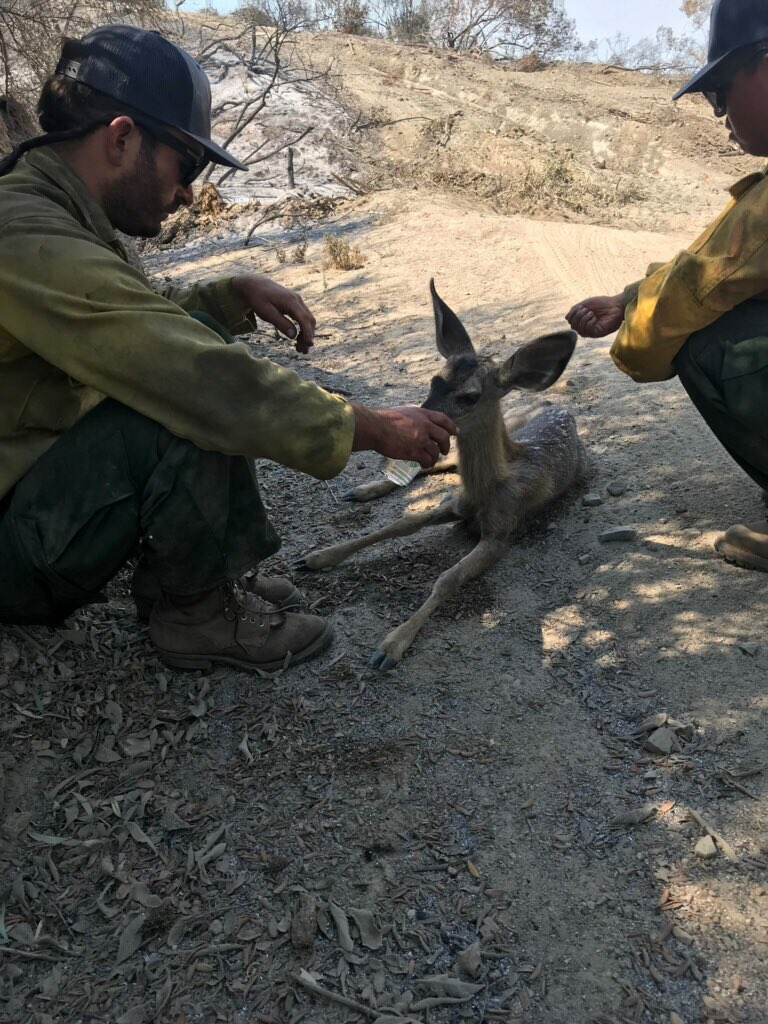 Firefighters assigned to the #HolyFire from the Los Padres National Forest made a difference today in the life of this baby deer who was heat exhausted and dehydrated. They provided her with water and helped her get back on her feet. #OhDear   #bigheart #forestservice<br>http://pic.twitter.com/EEtueAFNqW