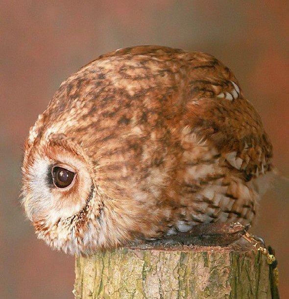 Short Eared Owl (Asio flammeus) #painting #art<br>http://pic.twitter.com/kYywck3hDT
