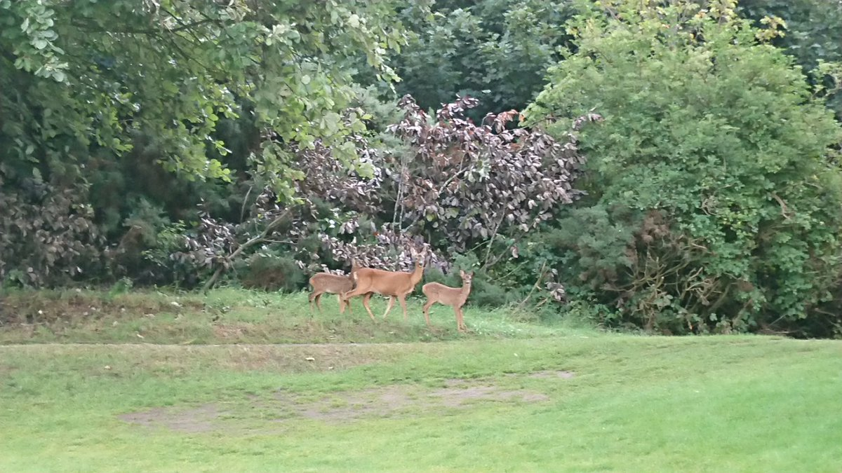 test Twitter Media - Not the best of pictures, but I've finally got photographic proof of the two young deer we have on the course. Clearly wanted to come and check out my hand mowing skills. https://t.co/YMYtqzCecK