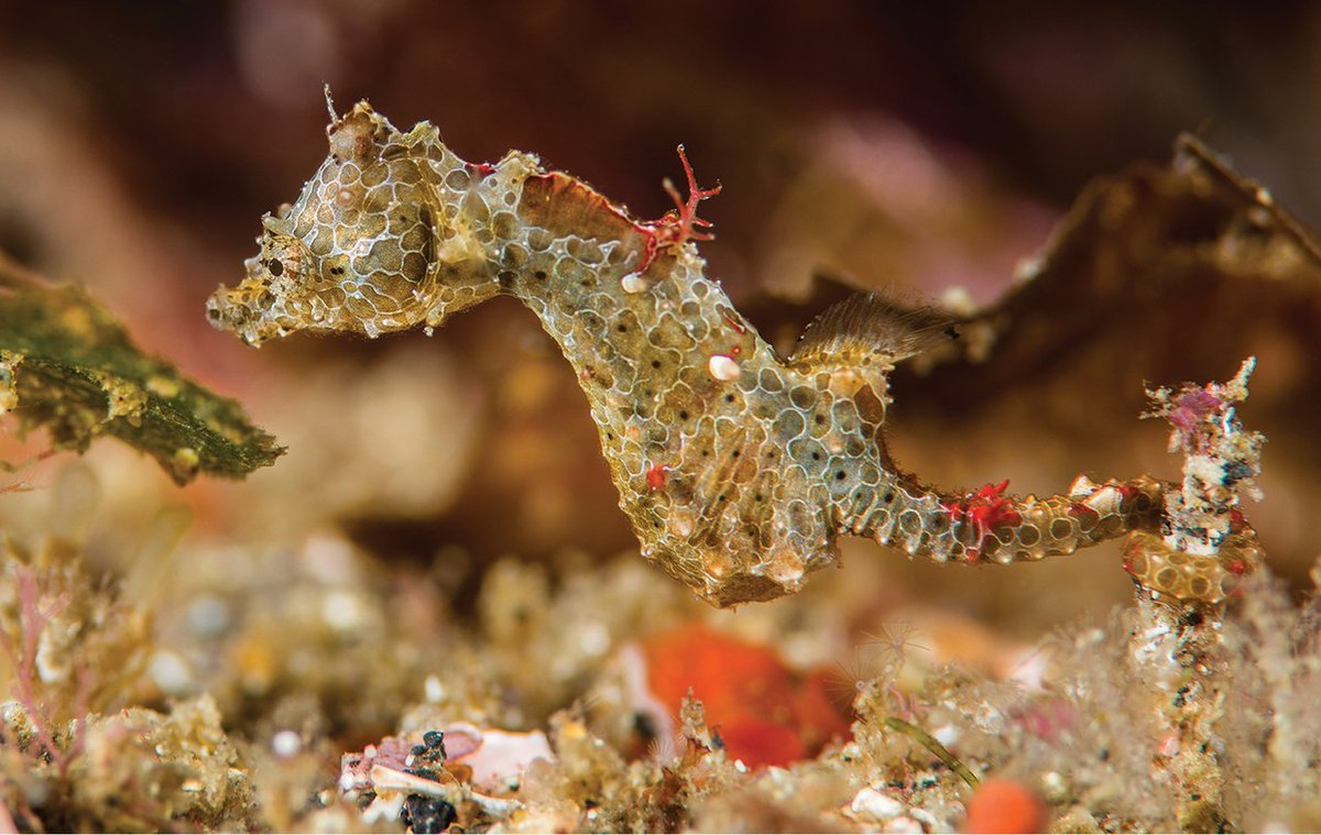 Tan pequeño como un grano de arroz, este caballito de mar pigmeo recién descubierto es una preciosidad. Bautizado como Hippocampus japapigu, este adorable 'cerdo japonés es muy pequeñito, tiene alrededor de 15 milímetros de largo y una coloración espectacular.  #picoftheday