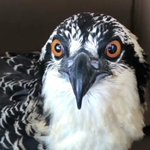Image for the Tweet beginning: Osprey Rescue Video -