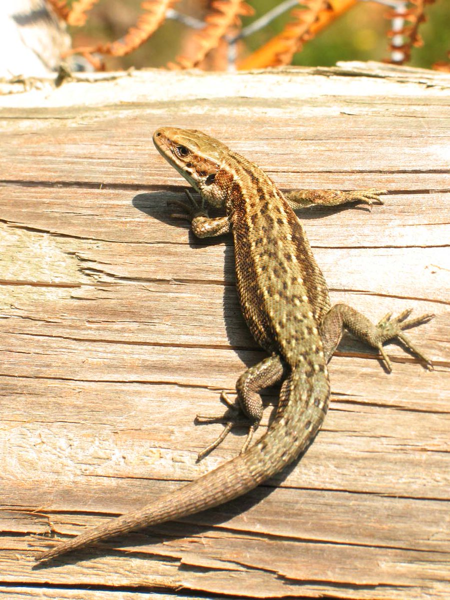 #WorldLizardDay The #commonlizard is an amazing  little species found in the UK and its range extends right up to the Arctic Circle @SussexARG @ARC_Bytes @froglifers @sophiecooper193 @MontWildlife  @liam_agilis @BuchanCP @Leolupus @WildlifeMag @LeyshonOwen @btnhovewildlife<br>http://pic.twitter.com/A6EtgPoWpd