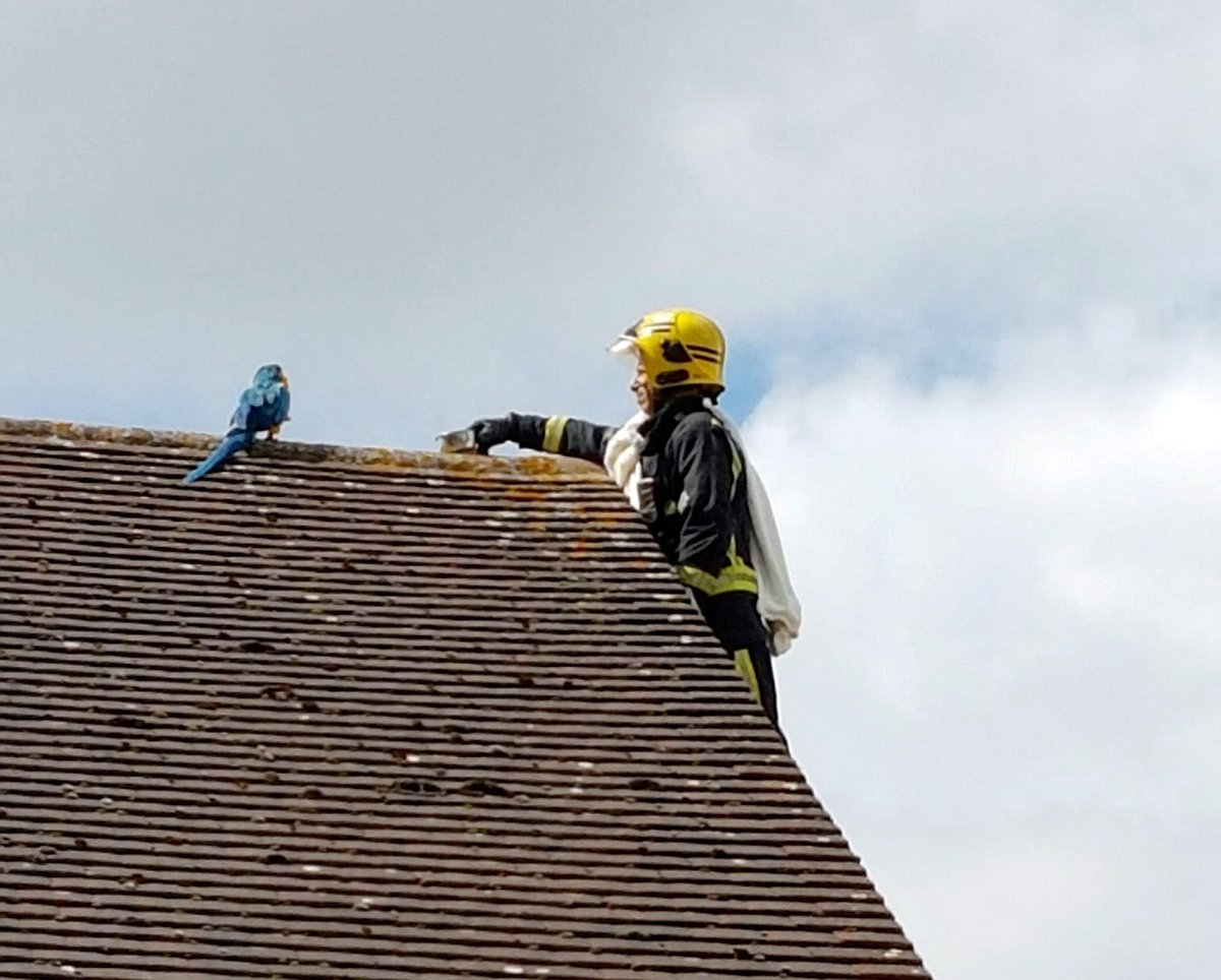 An escaped parrot stuck on a roof told its rescuers to 'f*** off' trib.al/i8AheJJ