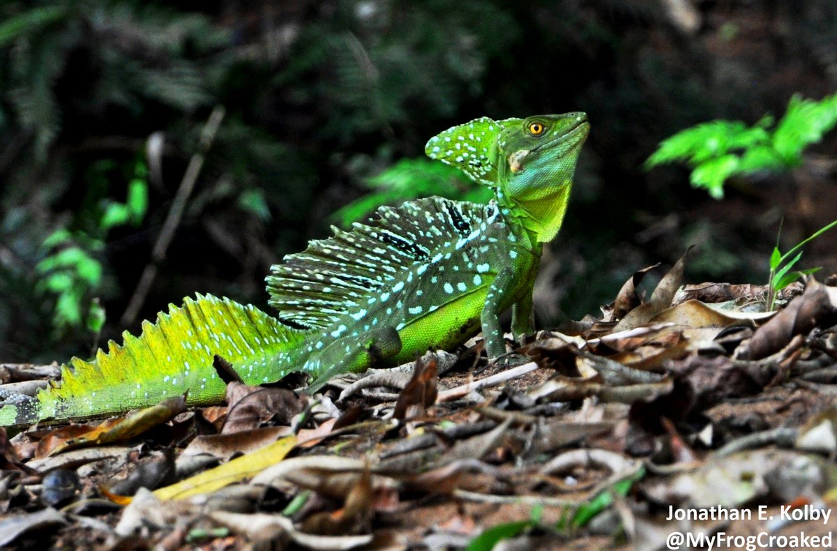 Happy #WorldLizardDay! This adult male Green Basilisk (Basiliscus plumifrons) looks like a green dragon! Sometimes called a Jesus Christ Lizard because it can run on water with specially adapted toes. I found this handsome guy in Nicaragua #lizard #scicomm  https://www. redbubble.com/people/myfrogc roaked/works/33241045-jungle-dragon?grid_pos=1&amp;p=mug&amp;rbs=fecbf9dd-c09b-4ea2-ae8c-5b637648e639&amp;ref=artist_shop_grid&amp;style=standard &nbsp; … <br>http://pic.twitter.com/DuwMwSuIiI