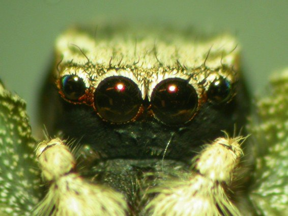 One of these jumping spiders has face paint on, can you tell which one? Scientists are trying to decipher how a female jumping spider determines whether a male is a mate or a meal, so they're painting the males' bright-red faces black with liquid eyeliner https://t.co/Ahf9FonyCC