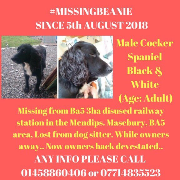 #missingbeanie  URGENT TWEETS PLS HE WILL BE VERY CONFUSED He was with a dogsitter when he went missing in #Mendips old disused #RailwayStation  #Masebury #BA5  OWNERS ARE DEVASTATED home from holiday to search for their #Spaniel 5/8/18  Near #Wells #Somerset <br>http://pic.twitter.com/E1yDoF6NQZ