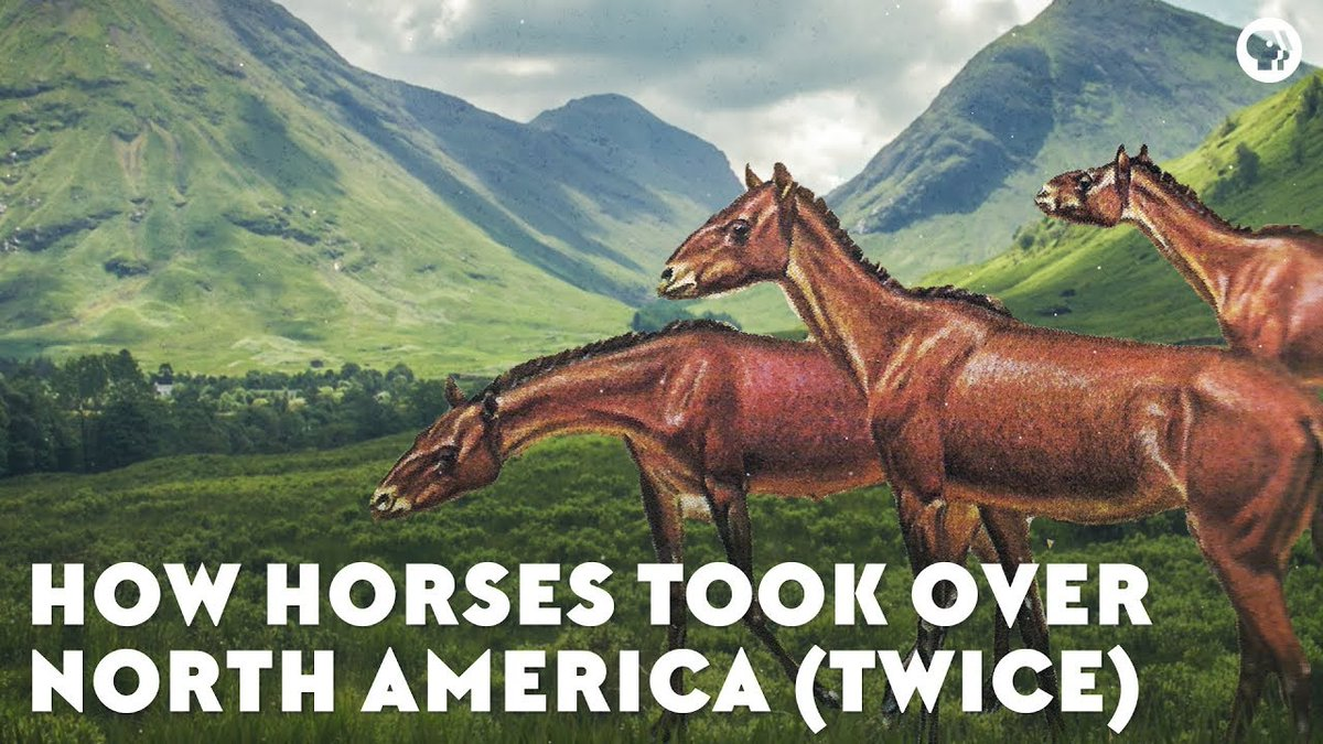 The ancestors of modern horses spread all over the world, but they vanished from North America for 10,000 years. Until they came back.  https://www. youtube.com/watch?v=kZoTvX vV02A &nbsp; … <br>http://pic.twitter.com/ss1WbmvfBz