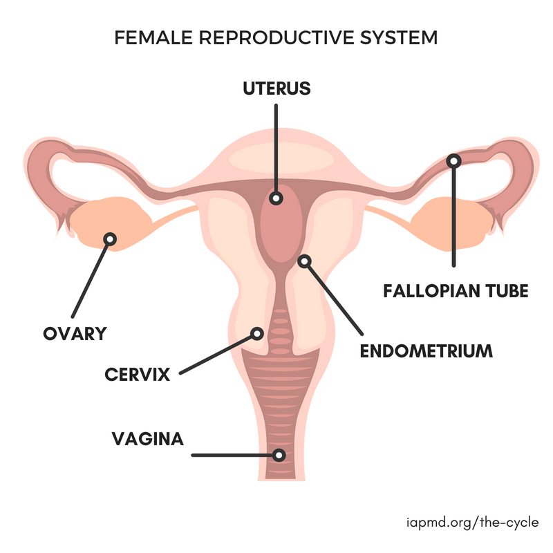Do you know the parts of the female reproductive system? Learn this and more at  http:// iapmd.org/the-cycle  &nbsp;   #PMDD #WellnessWednesday <br>http://pic.twitter.com/sh0dCtwEeI