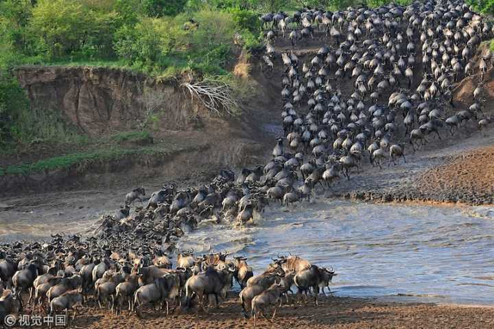 Summer welcomes the season of gnu migration. The life-threatening journey starts from the Serengeti Plains in #Tanzania to the plains of the Masai Mara in #Kenya, a distance of 1,800 miles over two months<br>http://pic.twitter.com/chIHMF8jR8