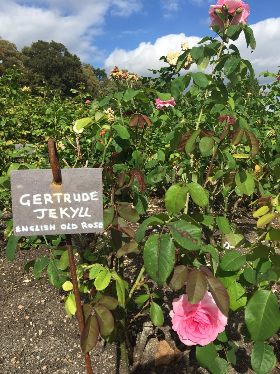 Can't tell you how amazingly fragrant this rose is but you'll just have to take my word for it! #walledgarden #ROSE #gertrudejekyllrose #surreygarden #gardeninspiration #fragrantflowers #loseleypark