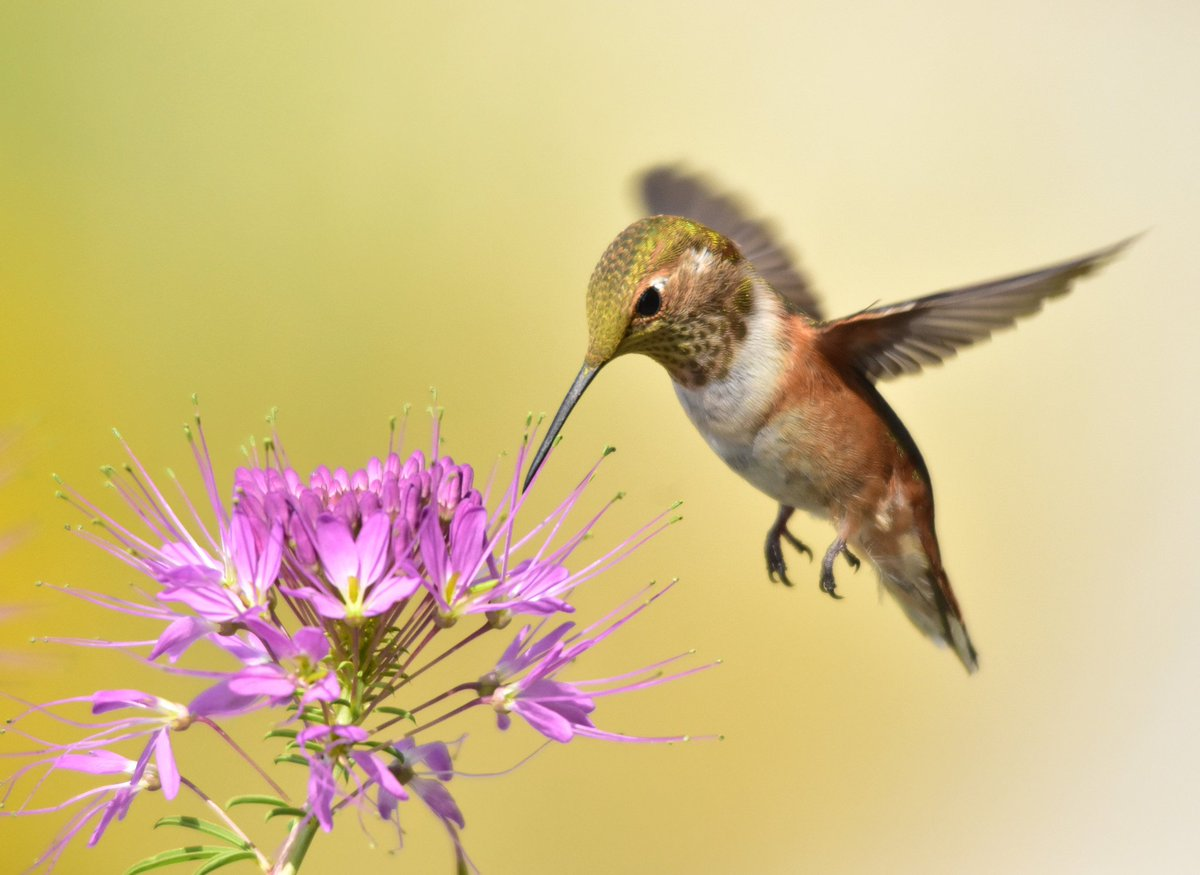 A juvenile male rufous hummingbird sips nectar from a Rocky Mountain Beeplant. Rufous hummingbirds travel an impressive distance during their migration and breed further north than any other hummingbird.  https://www. fws.gov/pollinators/fe atures/rufous.html &nbsp; …   Photo by Tom Koerner/USFWS<br>http://pic.twitter.com/f8wthlHXje